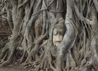 Ayutthaya Sehenswürdigkeit Wat Mahathat der Buddha Kopf im Baum